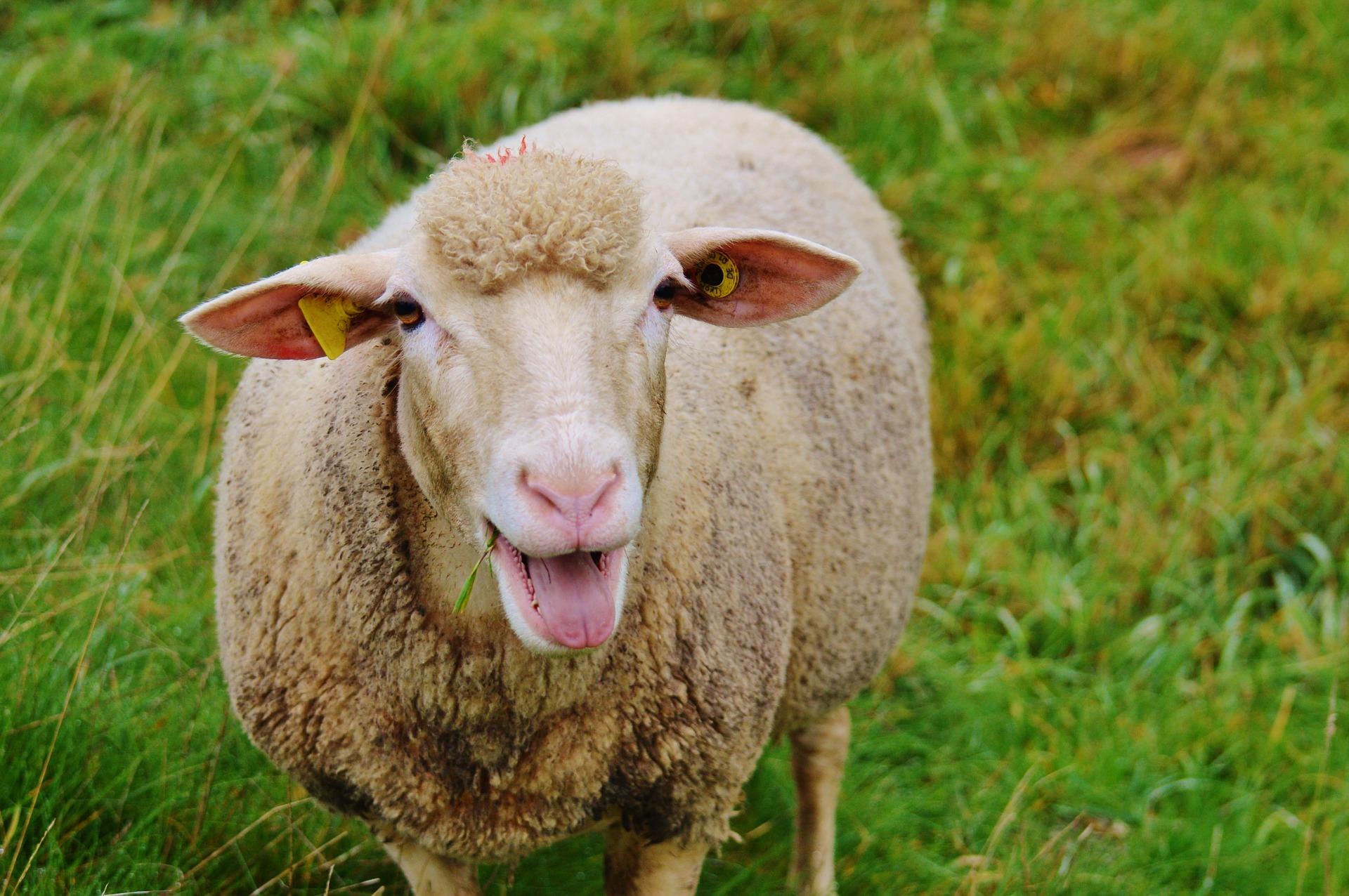 sheep-983137_1920